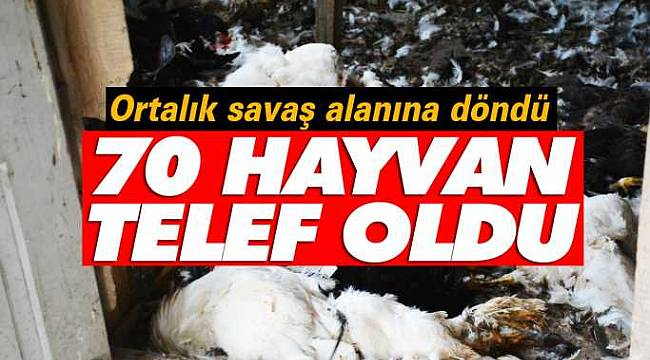 Sinop'ta aç kurtlar 70 tavuğu parçaladı