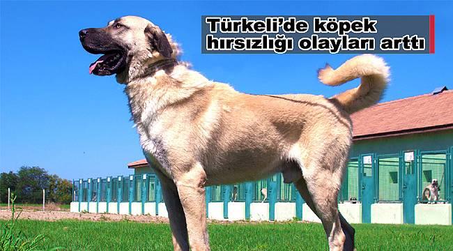 Türkeli'de köpek hırsızlığı olayları arttı