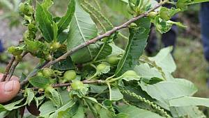 'Katil' gal arısı Kastamonu'da da görüldü, arıcılar tedirgin